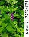 ハクサンチドリ 高山植物 79704576