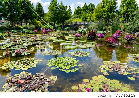 滋賀県草津市 水生植物公園みずの森のウォーターガーデン花影の池 79715218