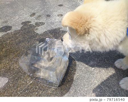 初めて見る氷に少し怖がりながら近づく小犬 79716540