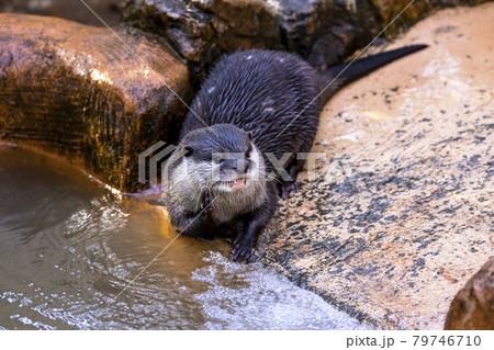 コツメカワウソ (Otter) 79746710