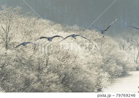 樹氷に囲まれたねぐらから飛び立つタンチョウ(北海道・鶴居) 79769246