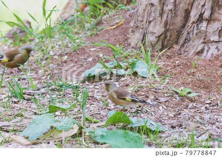春の公園の餌場に飛んできたカワラヒワ 79778847