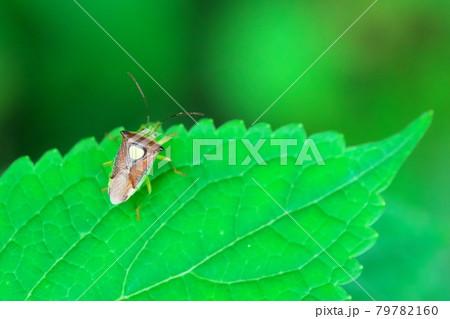【昆虫】背中に黄色いハートマークのエサキモンキツノカメムシ 79782160