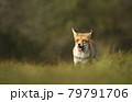 Close up of a red fox in grass 79791706