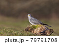 Common Cuckoo perched on a log in a meadow 79791708