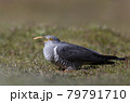 Close up of a Common Cuckoo eating a mealworm 79791710