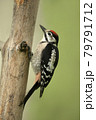 Great spotted woodpecker perched on a tree 79791712