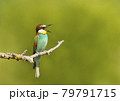 Close up of a calling Bee-eater perched on a tree branch 79791715