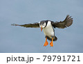 Close up of Atlantic puffin in flight 79791721