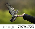 Close up of a Feral pigeon landing on a hand 79791723
