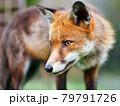 Portrait of a Red fox (Vulpes vulpes) 79791726