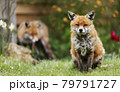 Close up of a Red fox sitting in grass 79791727