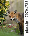 Close up of a red fox standing in a garden 79791728