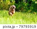草原を走り回るトイプードル01 79793919