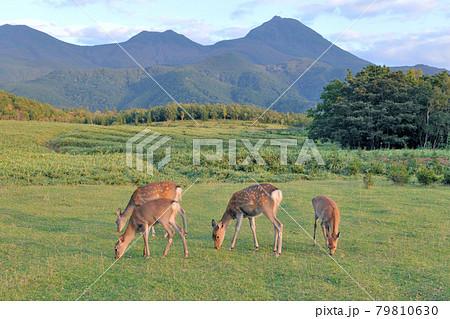 秋の知床連山とエゾシカの群(北海道・知床) 79810630