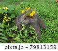 切り株の洞に咲いた黄色い花 79813159