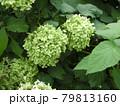 緑色のアジサイ 79813160