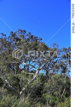 ユーカリの木 79820300