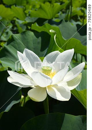真っ白な蓮の花 79820489