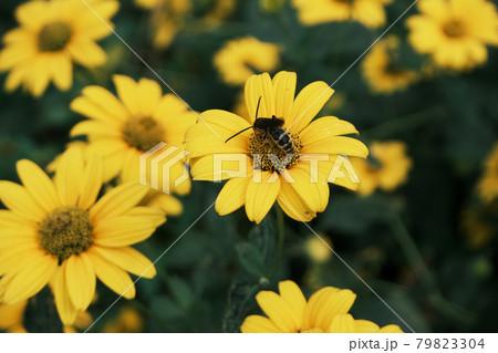(フラワーツーリズム)姫ひまわりと蜂 79823304