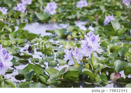 奈良 本薬師寺跡に咲くホテイアオイ 79832341