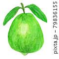グアバの水彩イラスト 79836155