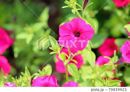ペチュニアの花 79839923
