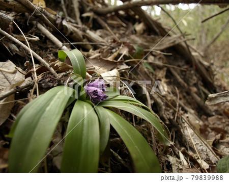 早春の七ツ森 ショウジョウバカマのつぼみ 79839988