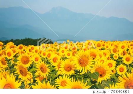 明野ひまわりの里のひまわり畑と筑波山 79840305