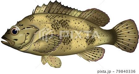 ムラソイ 魚イラスト
