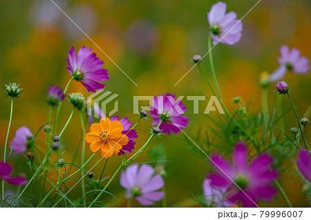 秋風に揺れ、色とりどりに咲くコスモス 79996007