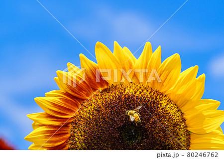 【夏イメージ】ヒマワリとミツバチ 80246762