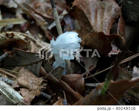 達居森の植物 透き通るようなギンリョウソウ 80248516