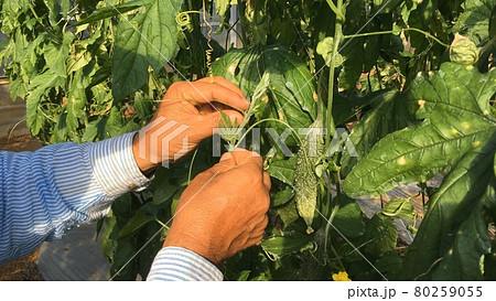 【特産品】南国野菜ゴーヤの生産風景 80259055