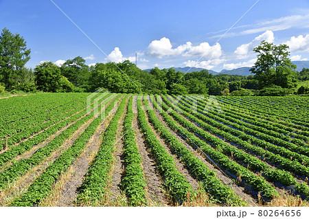 夏の北海道厚沢部町でサツマイモ畑の風景を撮影 80264656