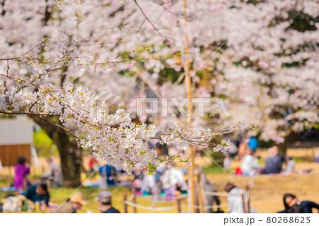 中野哲学堂公園の満開の桜 80268625