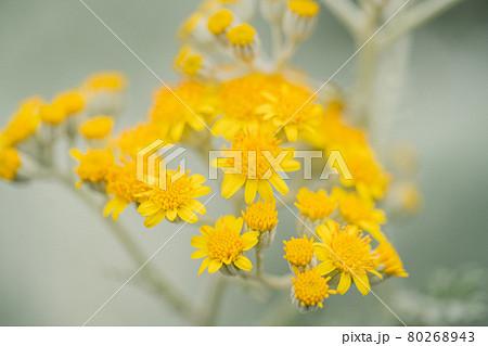 春の公園に咲く母子草(ハハコグサ) 80268943