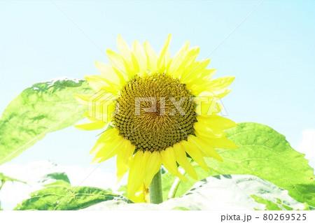 青空を背景に夏の花、ヒマワリの花の咲く風景 アップ・イメージ 80269525