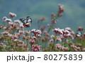 フジバカマに飛んで来るアサギマダラ 80275839