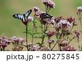 フジバカマに飛んで来るアサギマダラ 80275845