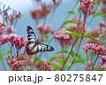フジバカマに飛んで来るアサギマダラ 80275847