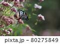 フジバカマに飛んで来るアサギマダラ 80275849