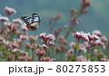 フジバカマに飛んで来るアサギマダラ 80275853