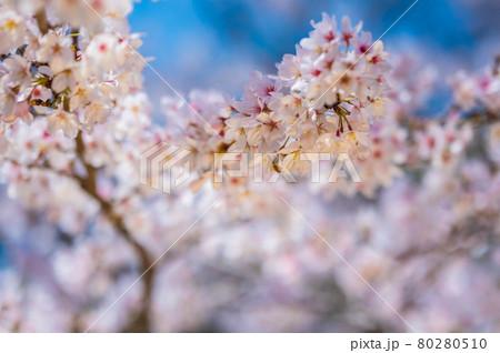 布橋十二ヶ滝(ぬのはしじゅうにがたき)の桜/石川県小松市 西尾地区 2021年4月 80280510
