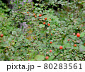 キイチゴ 80283561