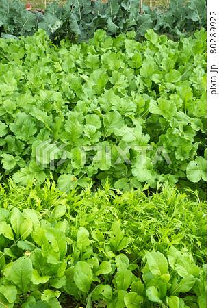 畑の緑の作物 80289922