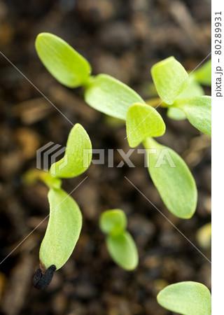 ニゲラ・サティバの芽 80289931