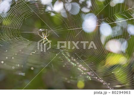 蜘蛛の巣の中央にいるクモ 80294963