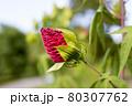 夏のタイタンビカス 80307762