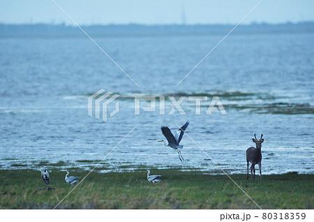 海岸を歩くエゾシカとアオサギ(北海道) 80318359